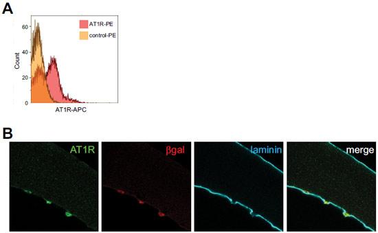 Anti-Angiotensin II Receptor Type-1 (extracellular) Antibody