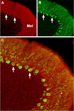 Expression of CaV2.2 in mouse cerebellum