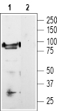 Western blot analysis of rat DRG lysate: