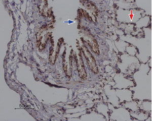 Expression of Orai2 in rat lung
