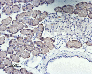 Expression of Orai1 in rat pancreas