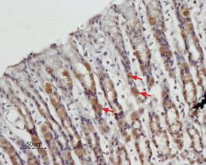 Expression of STIM1 in rat stomach