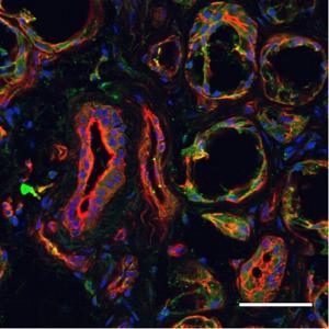 Anti-Human FPR2/ALX (extracellular) Antibody