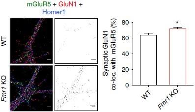 Anti-NMDAR1 (GluN1) (extracellular) Antibody
