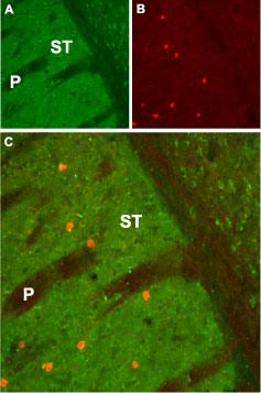 Anti-CHRM1 Antibody