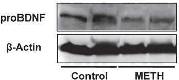 Anti-proBDNF Antibody