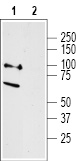 Western blot analysis of rat dorsal root ganglion lysates:
