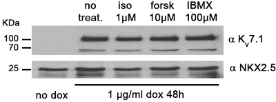 Anti-KCNQ1 Antibody