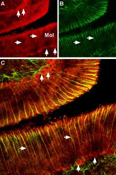 Expression of CNGA2 in rat cerebellum