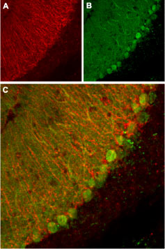 Anti-KCNK1 (TWIK-1) (extracellular) Antibody