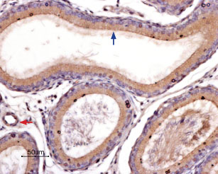 Expression of PAR-4 in rat epididymis