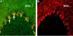 Expression of Caspr2 in rat cerebellum