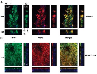 Anti-Aquaporin 2-ATTO-550 Antibody