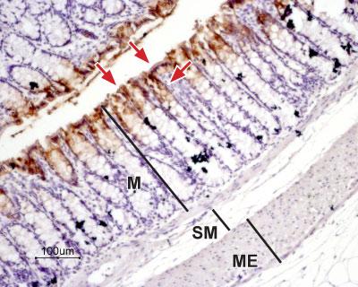Expression of Aquaporin 3 in rat colon