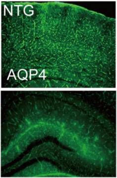 Expression of Aquaporin 4 in mouse brain.