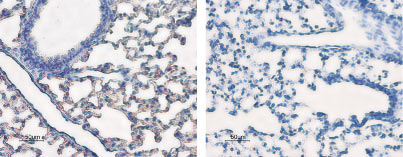 Expression of AQP5 in rat lung