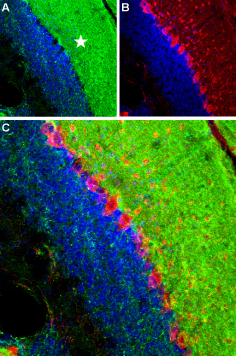 Expression of RyR1 in mouse cerebellum