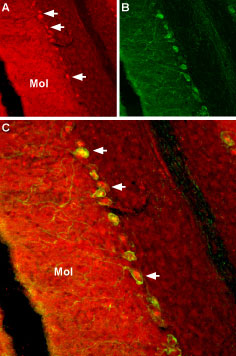 Expression of NaVβ2in rat cerebellum