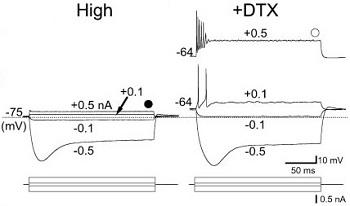 Dendrotoxin-I
