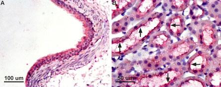 Anti-Aquaporin 7 Antibody