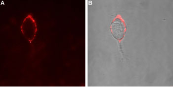 Expression of GABA(A) α4 Receptor in rat PC12 cells