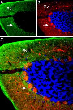 Expression of GABA(A) α4 Receptor in rat cerebellum