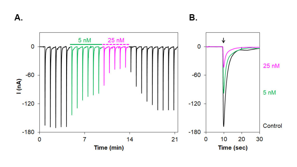 Alomone Labs αA-Conotoxin PIVA inhibits muscle fetal α1/β1/γ/δ nAChR heterologously expressed inXenopusoocytes.