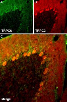 Multiplex staining of TRPC6 and TRPC3 in rat cerebellum