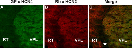 Multiplex staining of HCN4 and HCN2 in mouse thalamus