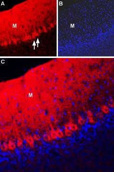 Expression of NCX2 in rat cerebellum