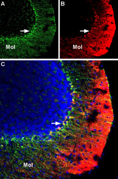Multiplex staining of KV1.3 and KV1.5 in mouse cerebellum