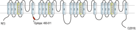 Guinea pig Anti-NaV1.5 (SCN5A) Antibody