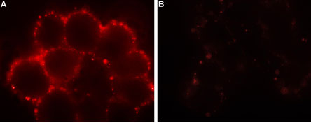 Expression of Orai1 in HEK-293 transfected cells