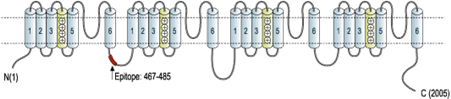 Guinea pig Anti-SCN2A (NaV1.2) Antibody