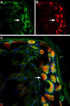 Anti-mGluR5 (extracellular)-ATTO-594 Antibody