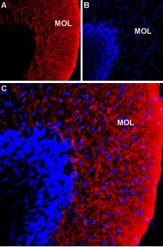 Expression of NKCC1 in rat cerebellum