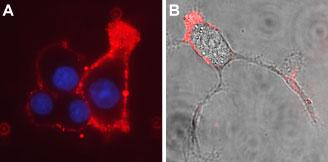 Anti-CACNA2D3 (CaVα2δ3) (extracellular)-ATTO-594 Antibody