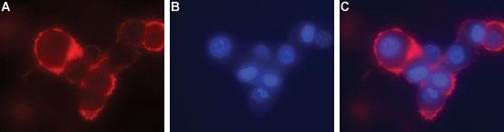 Anti-GFR alpha 4 (extracellular) Antibody