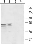 Western blot analysis of rat (lanes 1 and 3) and mouse (lanes 2 and 4)brainlysates: