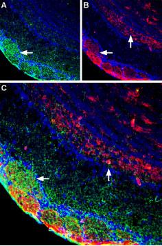 Guinea pig Anti-NMDAR1 (GluN1) (extracellular) Antibody