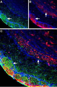 Multiplex staining of GluN1 and Plexin-A1 in rat olfactory bulb