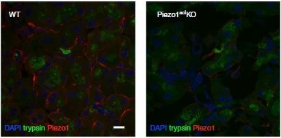 Anti-Piezo1 Antibody