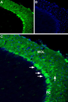 Expression of Apelin receptor in mouse brain