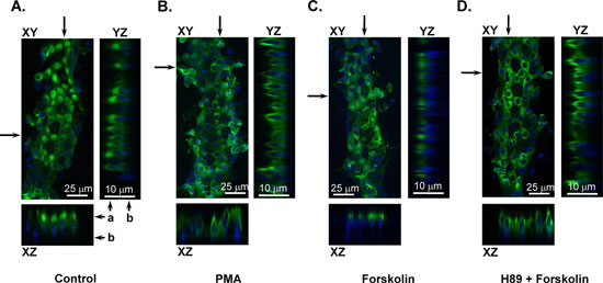 PKA activation causes TRPV4 subcellular translocation.