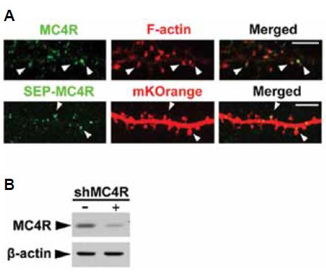 Expression of MC4R in mouse hippocampal neurons.