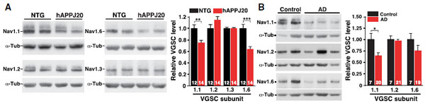 NaV1.1 Levels Decrease in PV Cells of hAPP Mice and in AD Brains.