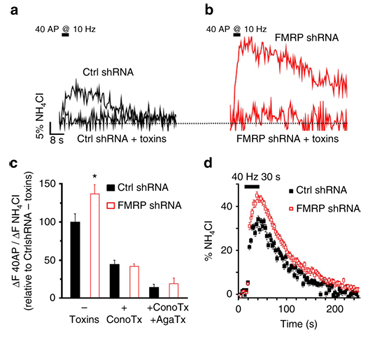 Knockdown of FMRP enhances synaptic vesicle exocytosis in presynaptic terminals of DRG neurons via CaV2.2 channels.