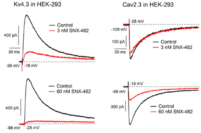 SNX-482 blocks KV4.3 currents heterologously expressed in HEK 293 cells.