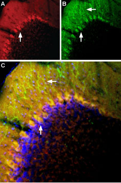 Multiplex staining of mGluR1 and TRPC3 in mouse cerebellum