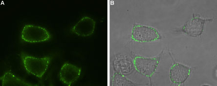 Expression of Orai1 in rat RBL cells